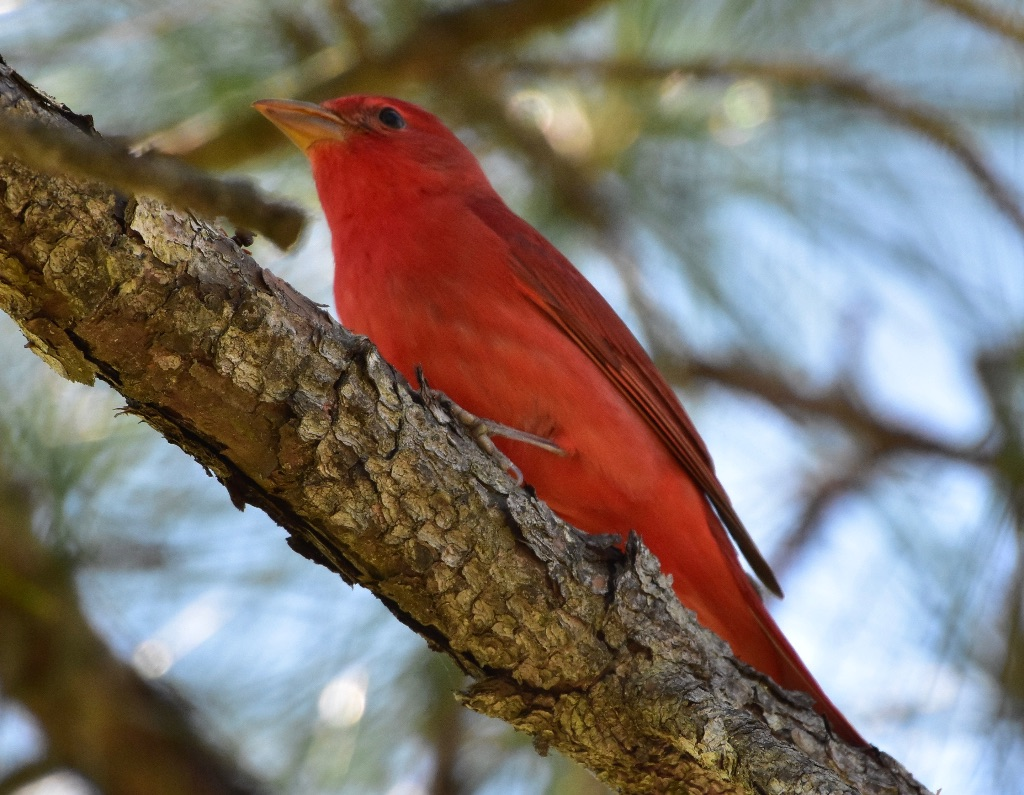 tanager - 3