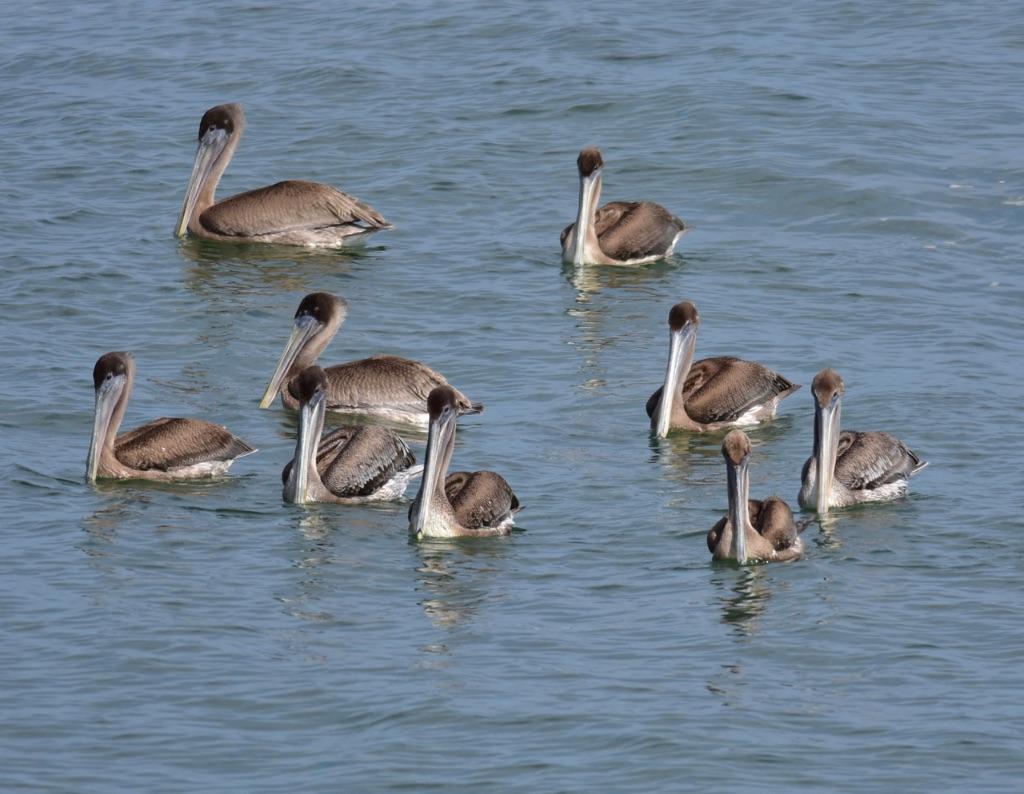 pelican2-1