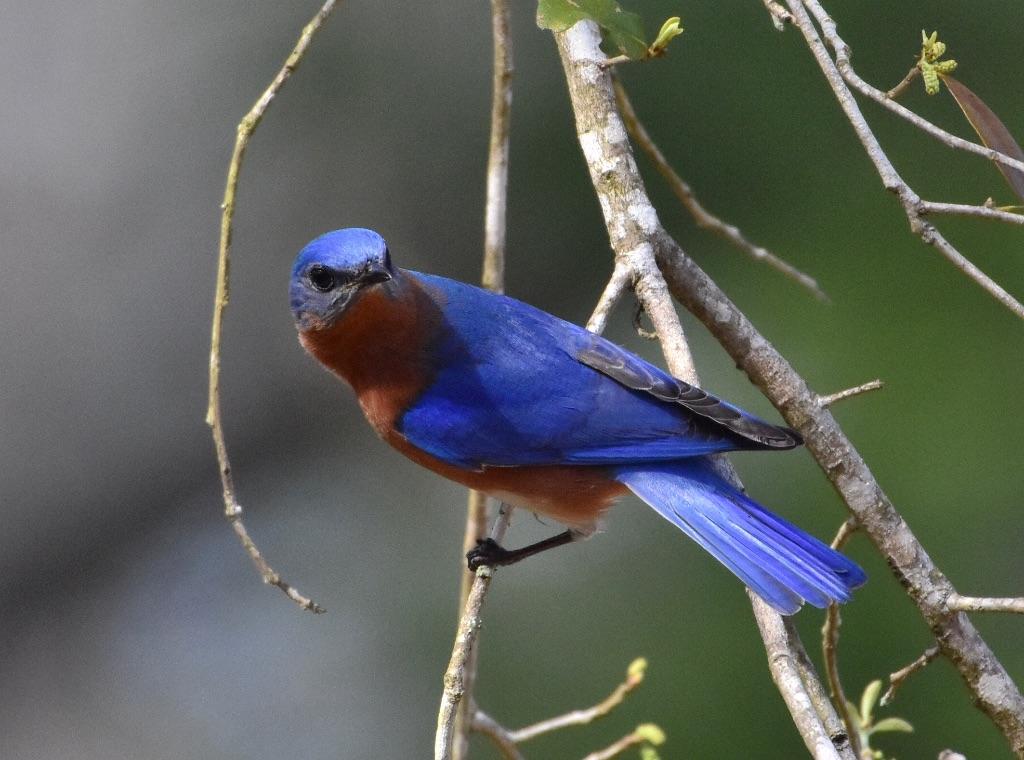 bluebird - 4