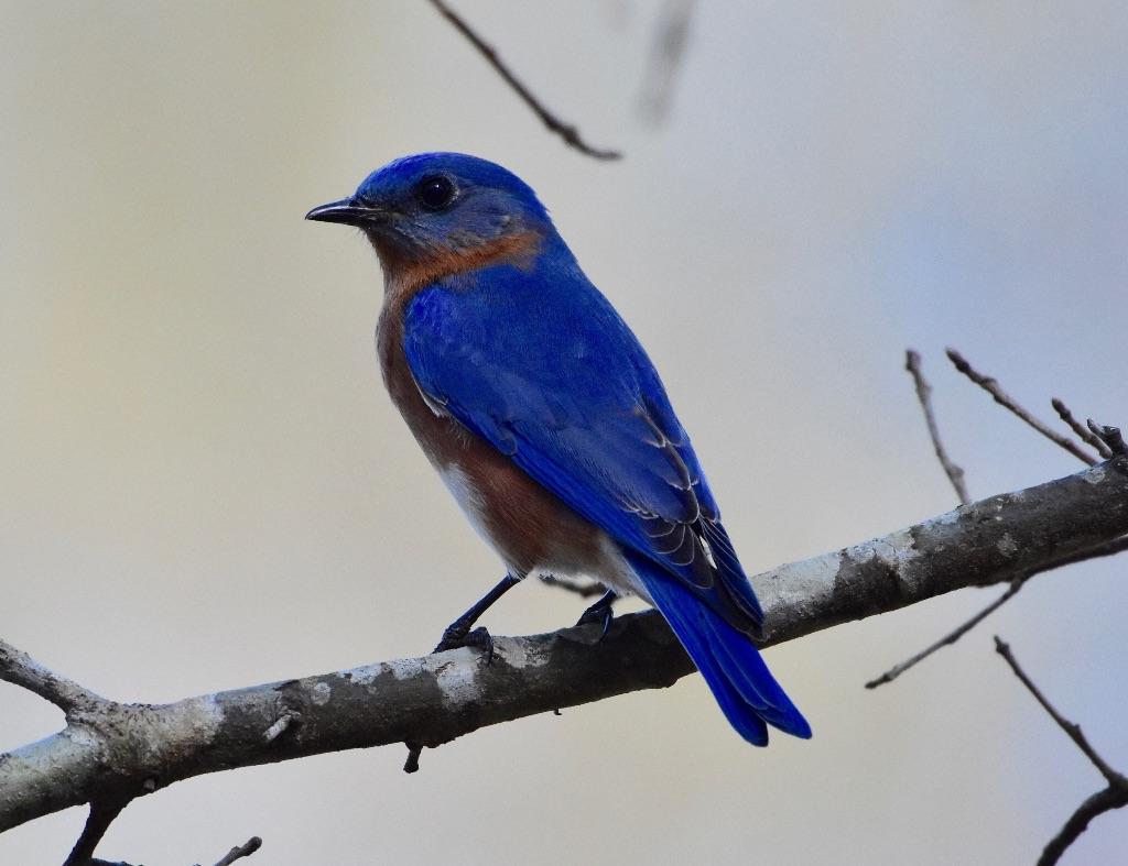 bluebird - 3