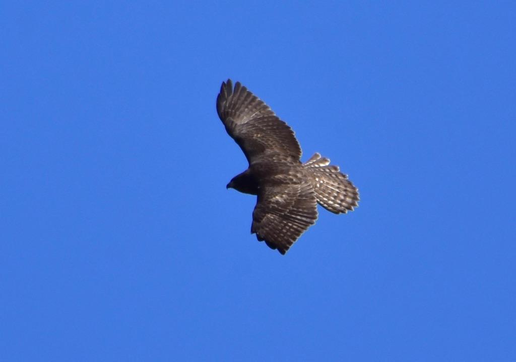 hawk2-1