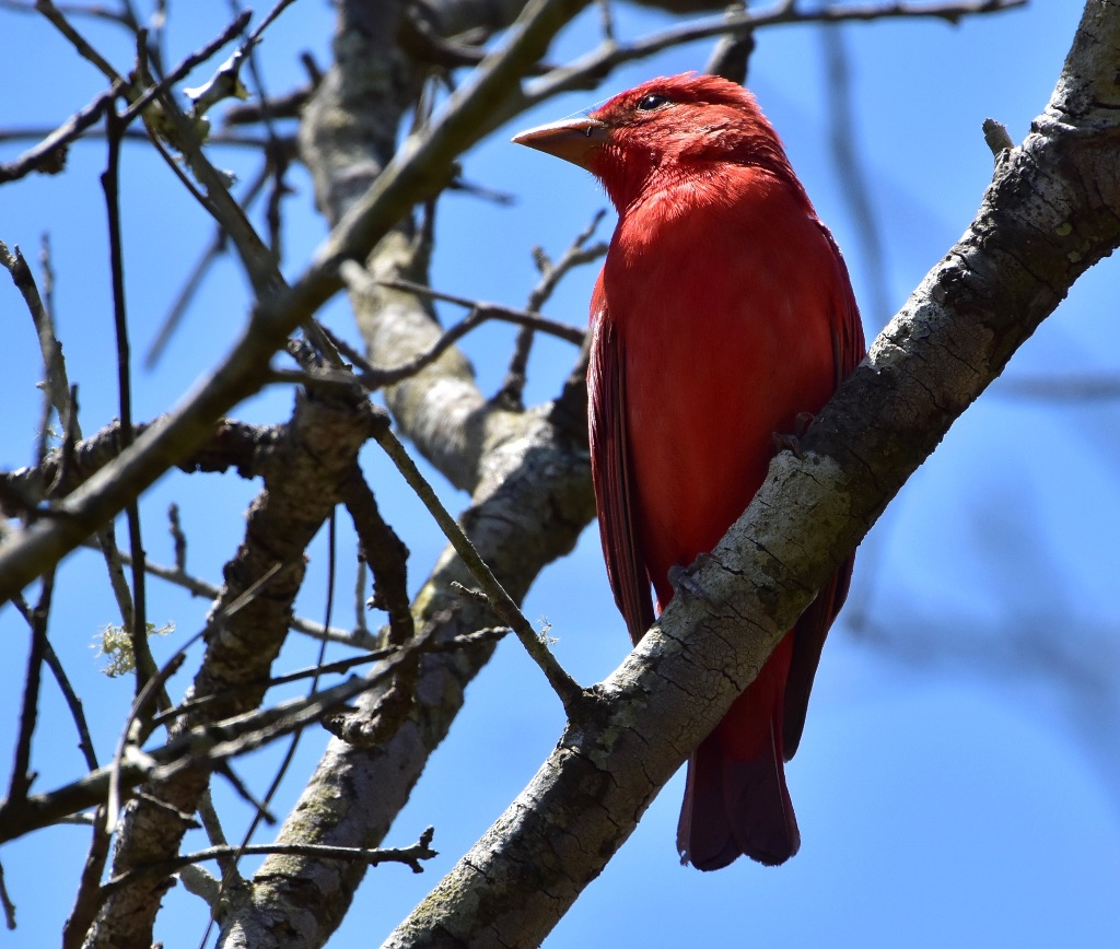 tanager - 2