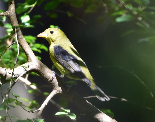 tanager-2